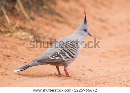 Crested Pigeon Ocyphaps lophotes on gravel road at Port Augusta, South Australia