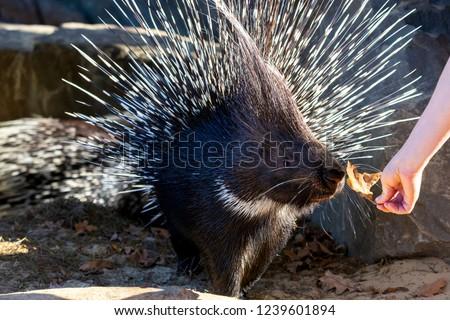 Crested porcupine or Hystrix cristata or African porcupine