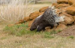Crested porcupine walking over rocks.
