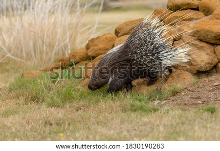 Photo of  Crested porcupine walking over rocks.