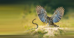 Crested Serpent Eagle flying in the forest to catch snakes