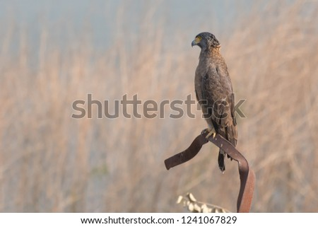 Crested Serpent Eagle (Spilornis cheela) - Gir National Park