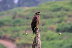 Crested Serpent Eagle (Spilornis cheela) in Borneo, Malaysia
