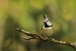 Crested tit sitting on the branch. Portrait of a tit with crest. Lophophanes cristatus