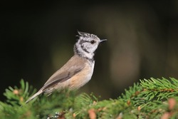 Crested Tit sitting on the spruce twig. Bird in the nature habitat, Portrait of Songbird tit with crest. Wildlife scene from forest. Lophophanes cristatus