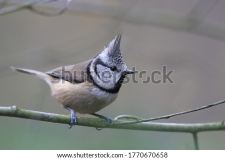 Crested Tit sitting on twig. Bird in the nature habitat, Portrait of Songbird tit with crest. Wildlife scene from forest.  Lophophanes cristatus