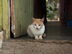 crestfallen, sad and lonely white and yellow cat at the door at a poor house
