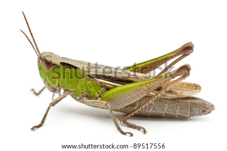 Cricket in front of white background