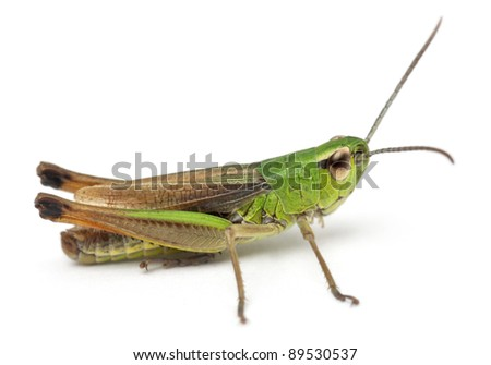 Cricket in front of white background #89530537