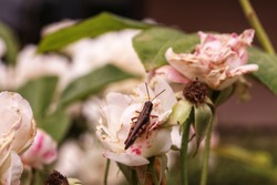 Cricket insect bug in a rose garden photography