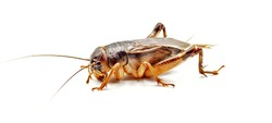 cricket Name one of the insects of the family Gryllidae. Body medium size, long antennae with two pairs of wings, front wings, thick winged wings, angled at the sides of the body. Winged back, thin wi
