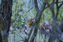 Cricket posing and hiding in bush