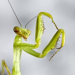 Crimean mantis macro insect