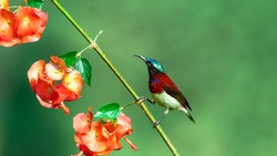 Crimson Backed Sunbird - Bird Photography