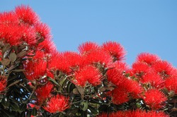 Crimson blossom of the pohutukawa, the New Zealand Christmas tree, against a clear, blue sky.