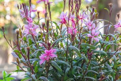 Crimson Butterfly, Passionate Blush, Siskiyou Pink Gaura, Gaura lindheimeri, Gaudi Pink, Butterfly gaura with green leaves, stem and branch, blur background