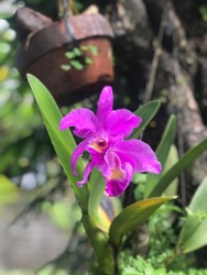 Crimson cattleya (Cattleya labiata) is a flowering plant native to Brazil. Crimson cattleya can grow up in other trees, on rocks, or in soil. Crimson cattleya is pollinated by insects and bees.