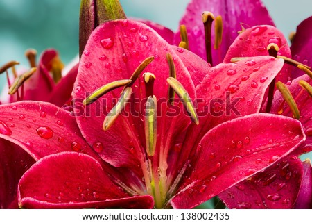 Crimson colored daylily covered in raindrops