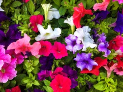 Crimson colorful blooming new Petunia flowers (Petunia hybrida)