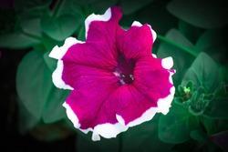 Crimson colorful blooming Petunia flowers (Petunia hybrida)