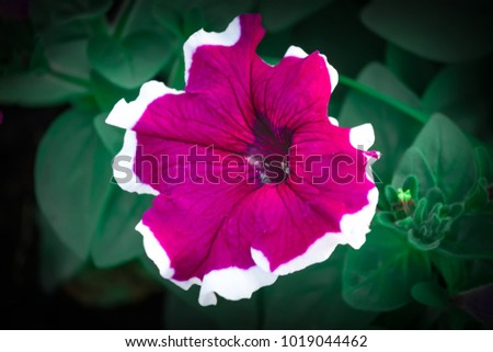 Crimson colorful blooming Petunia flowers (Petunia hybrida)