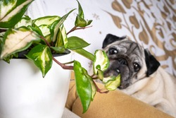 Crimson queen or hoya carnosa tricolor, pet friendly climbing and hanging plant. Indoor plant and dog photography. Dog portrait with a plant pet friendly. Space for logo or text