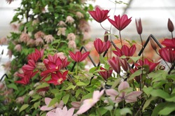 Crimson red large-flowered clematis Bourbon selected by the British breeder Raymond Evison blooms on an exhibition in May 2013