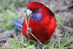 Crimson Rosella bird eating flower, close up, Australia