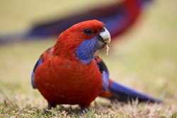 Crimson Rosella feeding on grass seeds