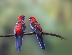 Crimson Rosella foraging in the woods