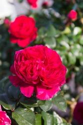 Crimson roses are in full bloom. A type of rose called Red Leonardo da Vinci.