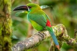 Crimson-rumped Toucanet, Aulacorhynchus haematopygus, beautiful green toucanet with rainforest background from South American forests, Mindo, Ecuador
