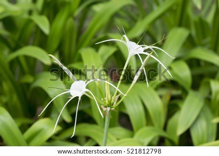 crinum asiaticum crinum lily cape lily poison bulb spider lily