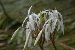Crinum thaianum (Thai onion plant, Water onion, Onion plant) is an endangered species of flowering plant of the family amaryllidaceae, endemic to the coastal plain of southern Thailand.