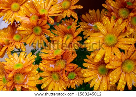 Crisantemo, wet orange flowers under the rain Foto stock ©