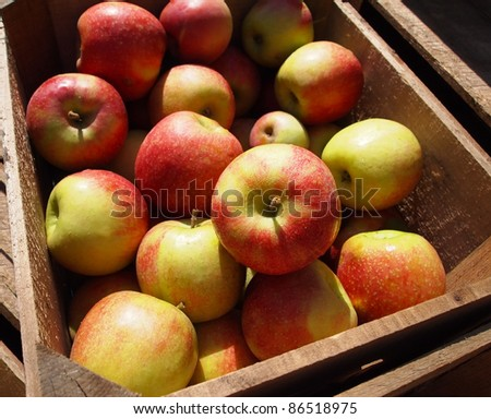 Crisp, fresh apples from the farm in a wooden crate in the sunshine.