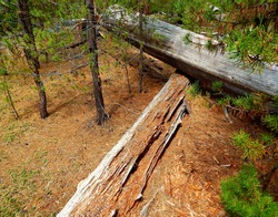Criss-Crossed Deadwood - A forest scene in the woods off of Cascade Lakes Highway - west of Sunriver, OR