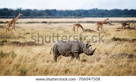 Critically endangered black rhinoceros walking in the grasslands of Kenya, Africa with Masai giraffe in the background
