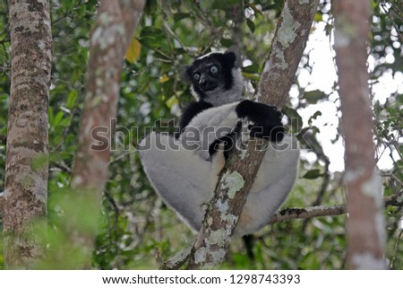 Critically Endangered Indri (Indri indri), also known as babakoto, perched in canopy of tropical rainforest in Madagascar.