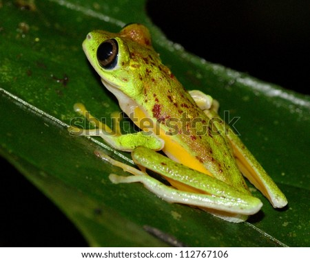 Critically endangered Lemur Leaf Frog, Agalychnis (or Hylomantis or phyllomedusa), in the wild in Costa Rica (species only remaining at two sites in Costa Rica)