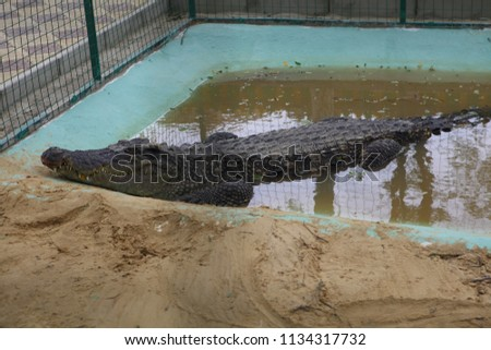 crocodile alive sits in the pool #1134317732