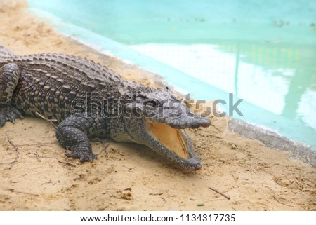 crocodile alive sits in the pool #1134317735