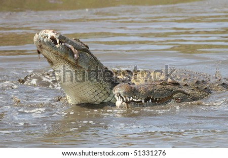Crocodile and a dead wildebeest in the Mara river