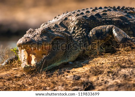 Crocodile baring teeth, Chobe National Park, Botswana