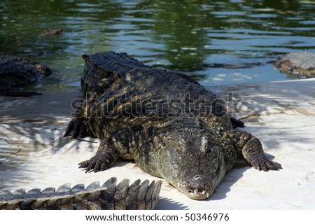 stock-photo-crocodile-by-the-riverbank-50346976.jpg