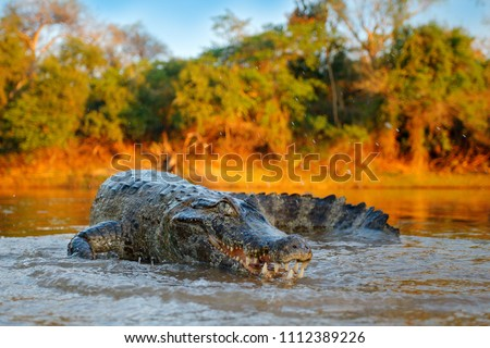 Crocodile catch fish in river water, evening light. Yacare Caiman, crocodile with open muzzle with big teeth, Pantanal, Bolivia. Detail wide angle portrait of danger reptile.