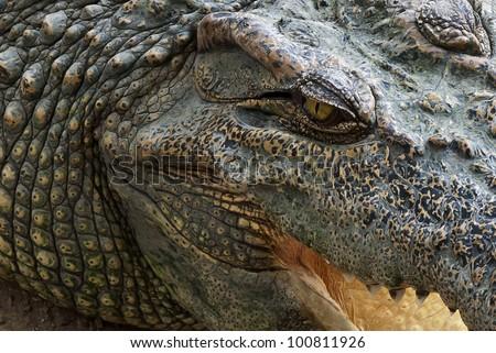 Crocodile close  up - stock photo