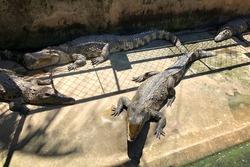 crocodile close-up. crocodiles in the sun on a crocodile farm. Vietnam