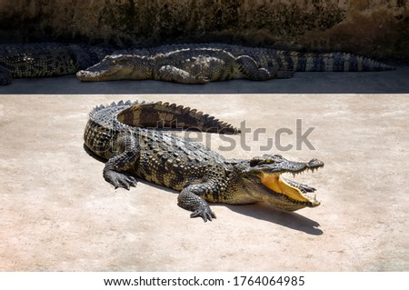 crocodile close-up. crocodiles in the sun on a crocodile farm. Vietnam