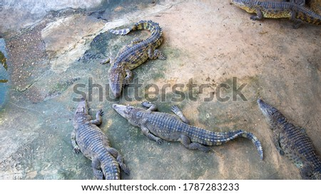 Crocodile,Crocodile lying in the pond,Crocodile on the farm,Crocodiles bask in the sun.